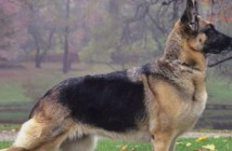 7 Prevailing Pros and Cons of German Shepherd